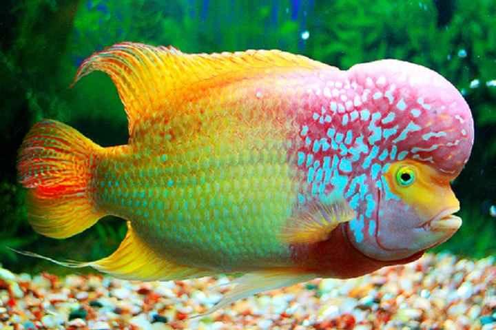 تصاویر ماهی فلاورهورن