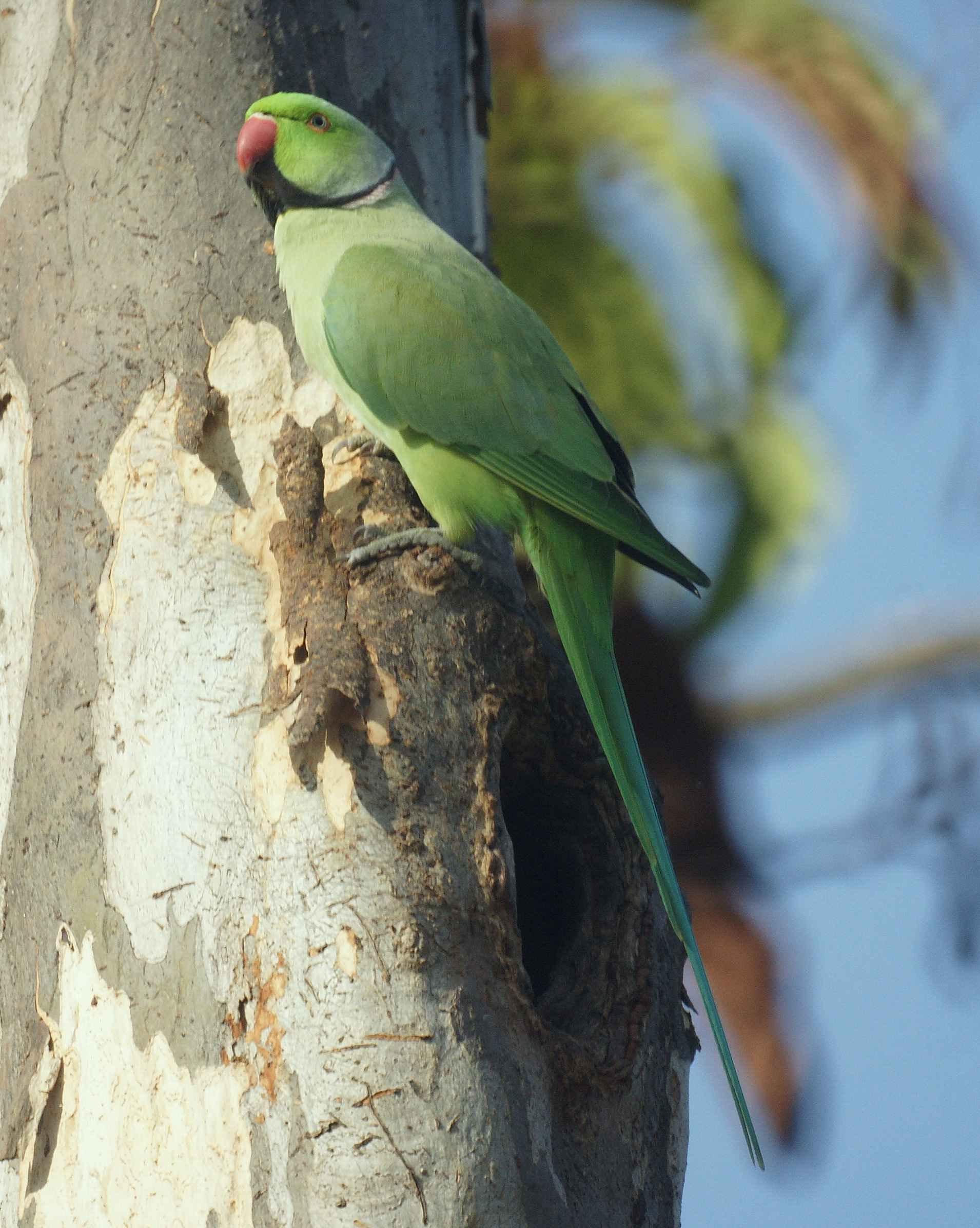 تصاویر ملنگو سبز (طوطی کوچک اسکندر)