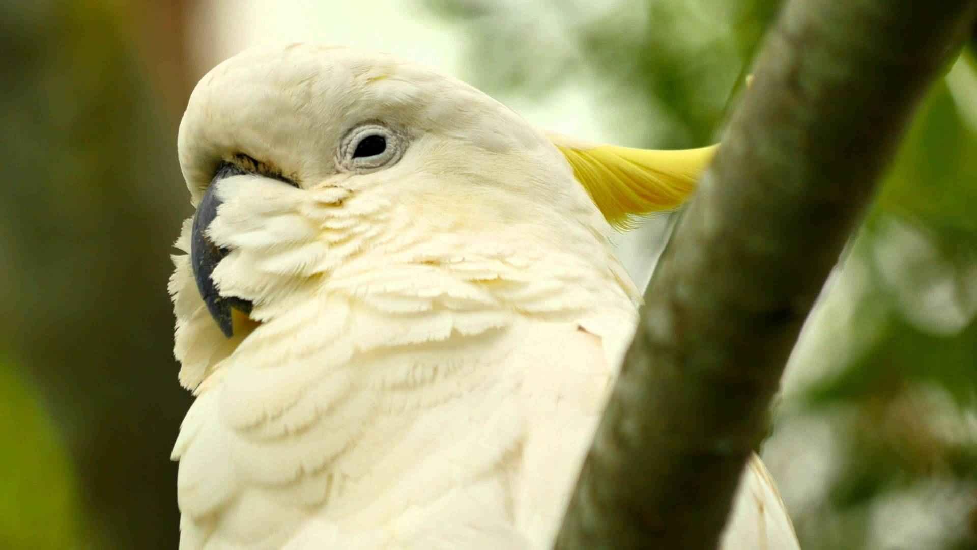 تصاویر کاکادو کاکل زرد