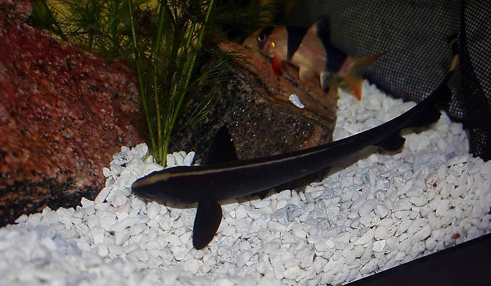 تصاویر ماهی بلک گوست (روح سیاه)