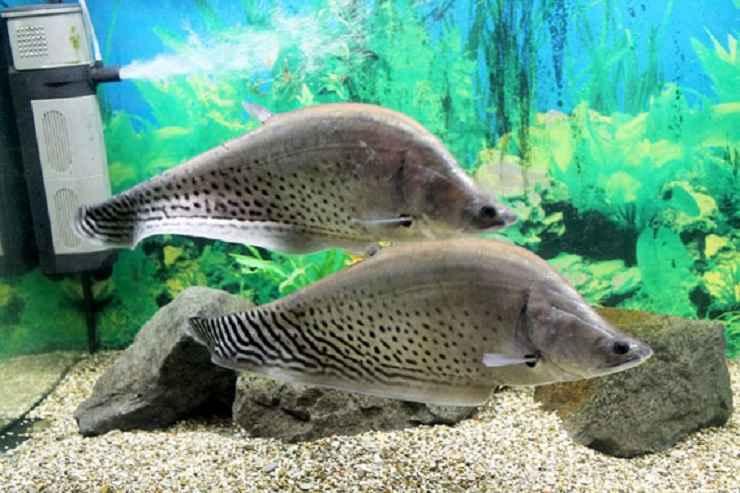 تصاویر نایف رویال (چاقو ماهی رویال)